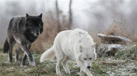 Gray Wolf At Detroit Zoo Dies During Surgery To Remove Mass