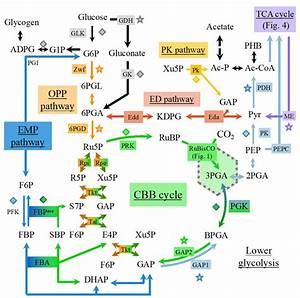 Schematic Representation Of The Carbon Metabolism In