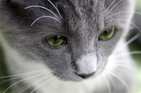 do cats shed their whiskers what you need to about cat whiskers