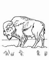 Bison Coloring Printable Coloriage Grass Eating Kolorowanki Bizon Animal Dzieci Dla Buffalo Animaux Already Colored Dessin Imprimer Colorier Drawings Sheets sketch template