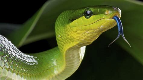 Snakes Smell With Their Tongues