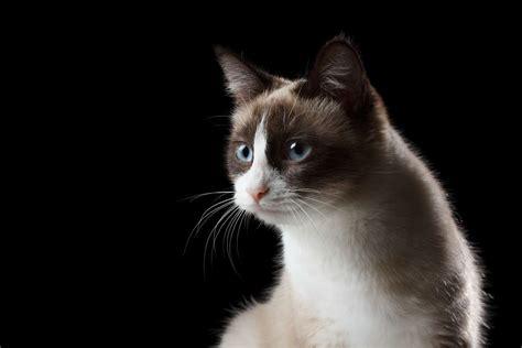 snowshoe cat cat breeds encyclopedia