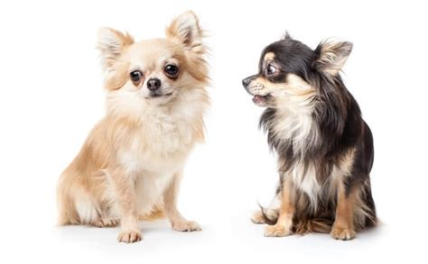 long haired chihuahua  complete breed guide