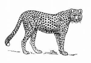 Dessin Jaguar Facile : coloriage gu pard img 15727 ~ Maxctalentgroup.com Avis de Voitures
