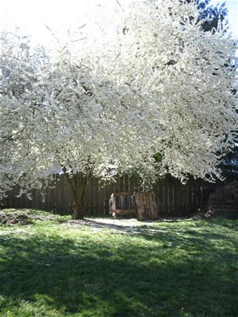 white flowering plum tree plum tree pictures images photos facts on plums