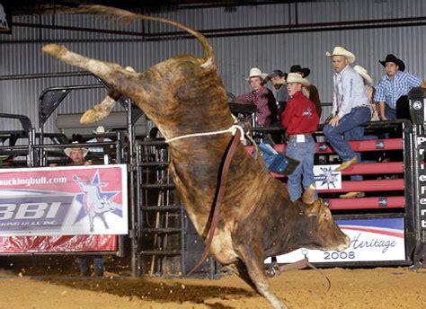 bucking bulls buck cattle