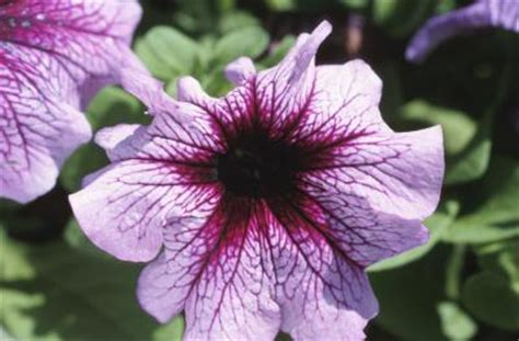 how far apart to plant petunias how long does it take for a dianthus and a petunia to germinate home guides sf gate