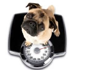 how to make my cat gain weight check if your is obese pet attack