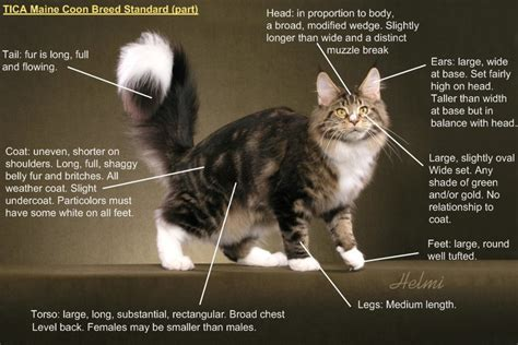 coon maine cats cat breed coons standards standard type chart specifically description breeds foguth kittens maincoon helmi flick lynx january