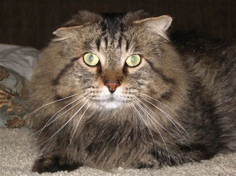 scottish fold maine coon mix  cat named brahme