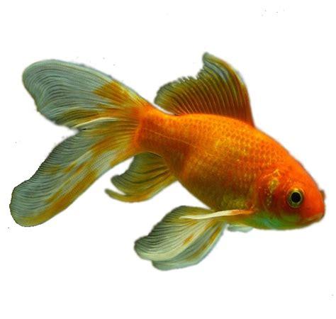 cuisiner du poisson blanc pourquoi il faut congeler le poisson pour le manger cru