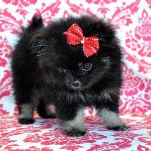 black  grey teacup pomeranian cutie puppies