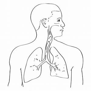 Respiratory System With Label Drawing At Getdrawings