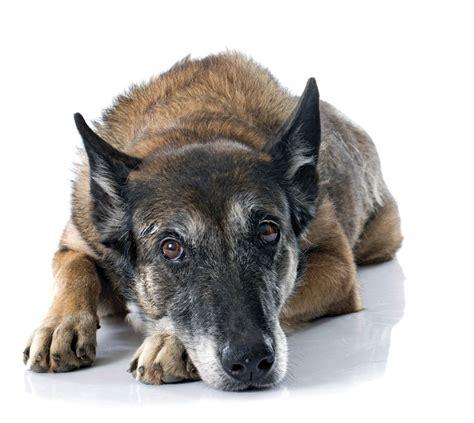 pain management  canine arthritis  bark