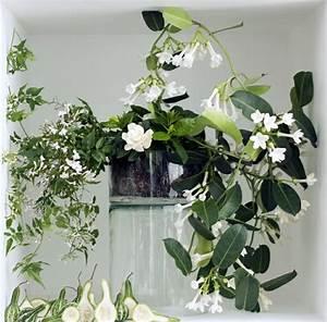 Zimmerpflanze Weiße Blüten : jasmin zimmerpflanze ein gr ner hingucker zu hause ~ Markanthonyermac.com Haus und Dekorationen
