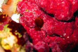 Algae: Red | Reef'd Up Aquatics