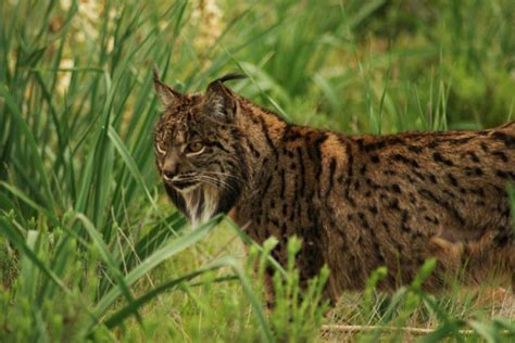 lynx iberian things interesting know lynxes spanish wikipedia didn wikicommons es external links