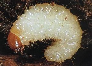 Fliegen In Der Erde : maden die ausaat fressen und ameisen auf lorbeer ~ Lizthompson.info Haus und Dekorationen