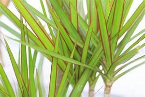 Pflanze Für Dunkle Räume : zimmerpflanzen pflege ~ A.2002-acura-tl-radio.info Haus und Dekorationen