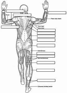 14 Best Images Of Muscle Labeling Worksheet High School