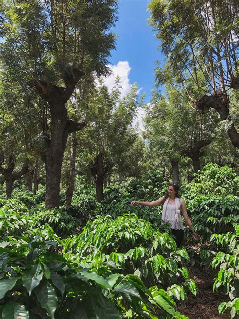 This coffee is a product of the producers of fedecocagua, from the various coffee plantation areas with an altitude of over 1300m, grown in the microclimates of the coffee zone. Guatemala - De La Gente Coffee Plantation Tour - Moderately Adventurous