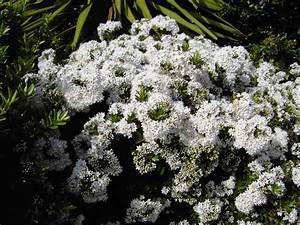 Petit Arbre Persistant : arbuste a fleur rustique fleur de passion ~ Melissatoandfro.com Idées de Décoration
