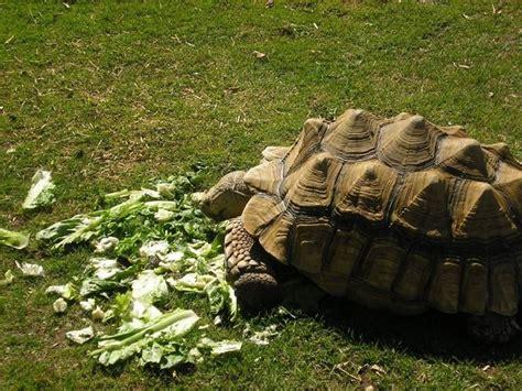 tartarughe alimentazione tartaruga di terra tartarughe caratteristiche delle