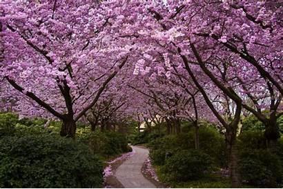Cherry Blossom Trees Sakura Flowers Wallpapers Path