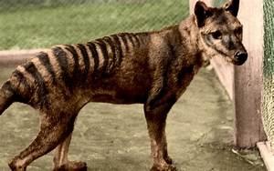 Tasmanian Tiger Related Keywords - Tasmanian Tiger Long ...