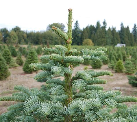 Fraser Christmas Tree Cutting paterson s lazy acres tree farm paterson s lazy acres