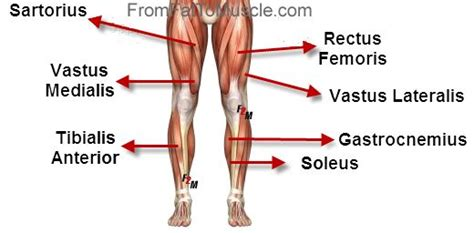 The leg muscles are organized in 3 groups: simple diagram of leg muscles