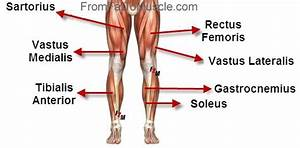 Simple Diagram Of Leg Muscles