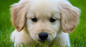 Cute Golden Retriever Puppy - Doglers