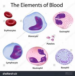 The Cells Of The Blood Depicted With Accuracy Stock Vector