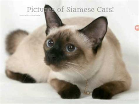 Pictures Of Siamese Cats Youtube