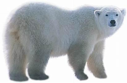 Polar Bear Transparent Animals Pluspng Pngimg