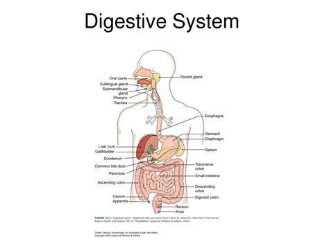 Digestive Diagram Labeled Anatomy Organ