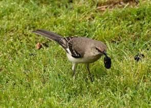 Tennessee State Bird Mockingbird