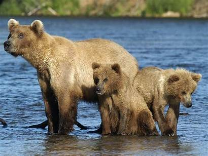 Bear Brown Cubs Sow Alaska Cruise Fly