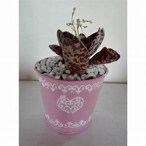 Pianta Succulenta Vaso Latta