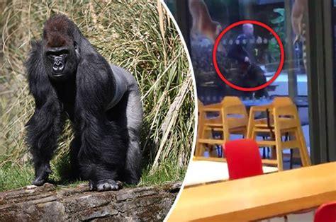 kumbuka  psycho escapee gorilla smash enclosure