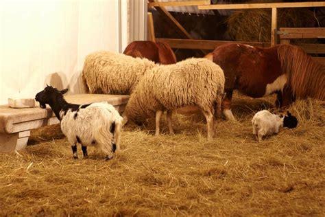 mini horses horse goats goat owners answers