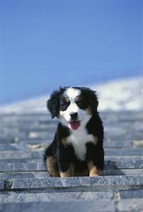 Bernese Mountain Dog Siberian Husky Mix | www.pixshark.com ...