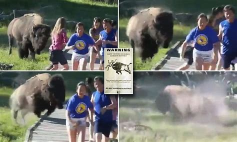 yellowstone national park warns tourists  bison gore