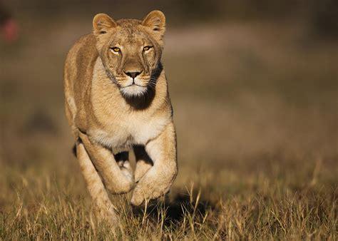 African Lioness Sirga Running Kalahari Photograph By Theo