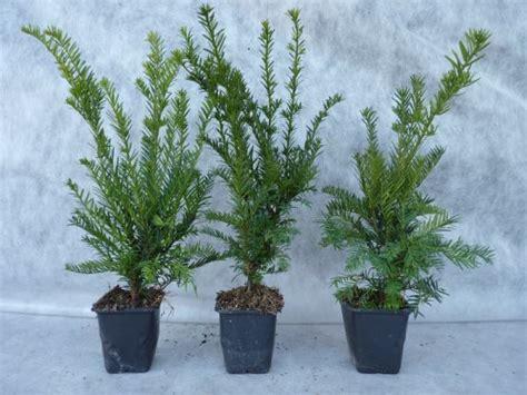 Eibe Im Kübel by Heckenpflanzen Kaufen Taxus Baccata Eiben