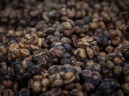 Poop Coffee Civet Bad Things Know