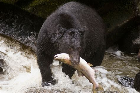 omnivorous animals examples bear animal mammals bears unexpectedly awesome