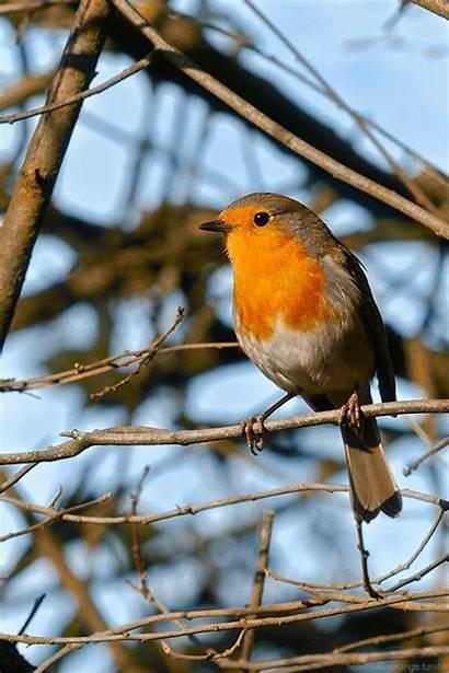 Robin European Wake Head Orange Monday Morning