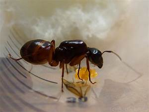 Queen Ants – Founding a new colony | 6legs2many
